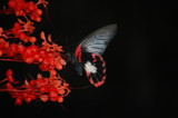 Black and Red by rampez, Photography->Butterflies gallery