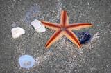 Starfish by Mvillian, photography->animals gallery