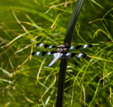 Twelve-Spotted Skimmer on a Reed by Pistos, photography->insects/spiders gallery