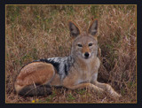 Black-backed jackal by SusanVenter, Photography->Animals gallery