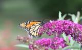 Garden Monarch by tigger3, photography->butterflies gallery