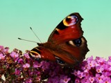 peacock butterfly by stormdancer, photography->butterflies gallery