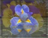 Iris Overlay by ccmerino, photography->manipulation gallery