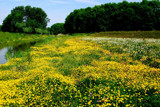 Field of Buttercups by rozem061, Photography->Landscape gallery