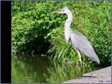 Blue Heron... by G8R, Photography->Birds gallery