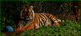 Restful Tiger by tigger3, photography->animals gallery