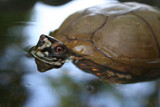 Box Turtle taking a swim by shaw242, Photography->Animals gallery