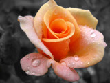 Raindrop Rose - Another Angle by Crusader, Photography->Flowers gallery