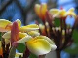 Plumerias (Unedited) by JoeyH, Photography->Flowers gallery