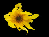 Sunflower by rvdb, photography->manipulation gallery