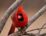 Upset Cardinal... by egggray, Photography->Birds gallery