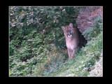 Puma by boremachine, Photography->Animals gallery