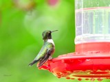 Little Hummer by tigger3, photography->birds gallery