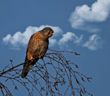 Kestrel by biffobear, photography->birds gallery