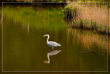 Admiring Its Own Reflections by corngrowth, photography->birds gallery