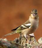 Female Chaffinch 2 by biffobear, photography->birds gallery
