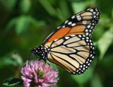 Monarch Butterfly by gerryp, Photography->Butterflies gallery