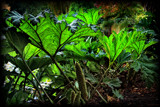 Giant Gunnera by LynEve, photography->nature gallery
