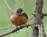 American Robin by garrettparkinson, photography->birds gallery