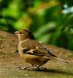 Female Chaffinch by biffobear, photography->birds gallery