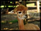 """Ya Like My Ear Tag?"" by Jimbobedsel, Photography->Animals gallery"