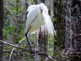 Nesting  21 by 100k_xle, Photography->Birds gallery
