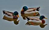 Still Reflections by SatCom, Photography->Birds gallery