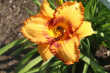 Popular Daylily by jerseygurl, photography->flowers gallery