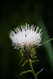 White Thistle by Pistos, photography->flowers gallery