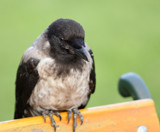 Crow@2.8 [2] by boremachine, Photography->Birds gallery