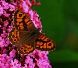 The Wall by biffobear, photography->butterflies gallery