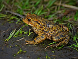 Gissa Kiss by biffobear, photography->reptiles/amphibians gallery