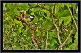 Great tit by slybri, Photography->Birds gallery