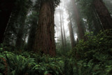 California Redwoods 2 by nmsmith, photography->landscape gallery