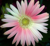 Gerbera Pink by ccmerino, photography->flowers gallery
