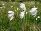 Cotton Grass by Si, Photography->Nature gallery