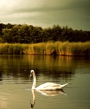 Swan by WTFlack, photography->birds gallery