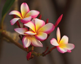 Plumerias at Sunset by jeenie11, photography->sunset/rise gallery