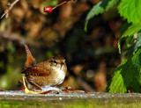 Jenny Wren by biffobear, photography->birds gallery