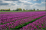 Zeeland Tulip Fields 2 by corngrowth, photography->landscape gallery