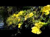 Yellow Jasmine by groo2k, photography->flowers gallery