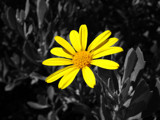 Yellow Flower by Crusader, photography->flowers gallery