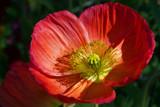 Pretty Poppy by jeenie11, photography->flowers gallery