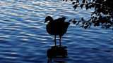 Goose on The Rocks by braces, photography->birds gallery