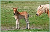 Zeeland Wild Horses 05, New Born Babe by corngrowth, photography->animals gallery