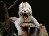 white tiger by jeenie11, Photography->Animals gallery