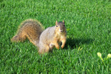 Squirrely Shirley by kidder, Photography->Animals gallery
