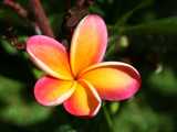 orange plumeria by jeenie11, Photography->Flowers gallery
