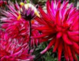 Crazy Dahlias by LynEve, photography->manipulation gallery