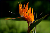 Strelitzias in the sun by Ramad, photography->flowers gallery